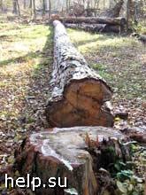 Четверо местных жителей вырубили лес более чем на 1 млн. рублей