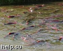 На Камчатке зафиксирован массовый мор лосося