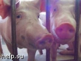 В Ставропольском крае обнаружены очаги африканской чумы свиней
