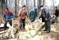 В Воронежской области вырублены столетние дубы