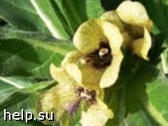 В Самарской области началось следствие по делу об отравлении беленой